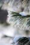 Rachel Burke | Snowy Pine